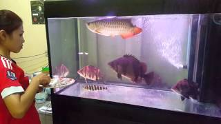 Download ให้อาหารปลามังกร High Back กับเสือตอ Video