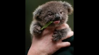 Download Baby Koala want to caress Video