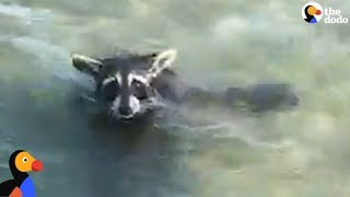 Download EXHAUSTED Raccoon Rescued From MIDDLE Of A Bay | The Dodo Video