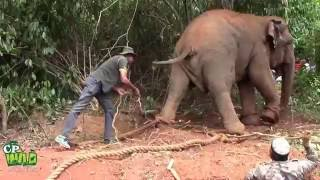 Download Capturing of an aggressive elephant ! Video