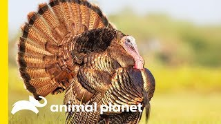 Download Turkey Talk with Dave Salmoni Video