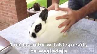 Download KRÓLIKI – Otyły królik. Jak go odchudzić? Video