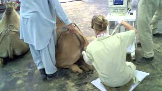 Download Visit Camel Reproduction Centre, Dubai, UAE Video