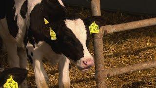 Download SPIEGEL TV Doku: Exportschlager Milch Video