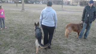 Download Aggressive german shepard dog on walks Video