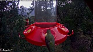 Download Male Rufous Hummingbird Hovers Into View – July 21, 2017 Video