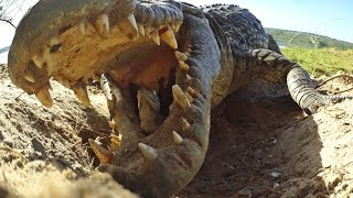 Download Crocodile scoops up babies into mouth...along with Spy Croc! Video