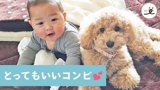 Download 一緒にイタズラしちゃう!✨ トイプードルと赤ちゃんが仲良くなって「名コンビ」になるまで…🐩💕【PECO TV】 Video