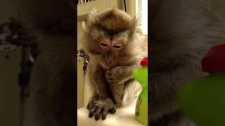 Download A Monkey Drinkin Bubble Gum Pedialyte Cuteness Overload Video