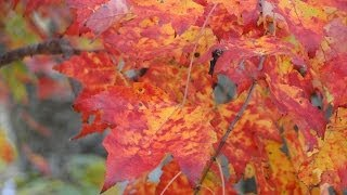 Download Autumn leaf color, New England fall foliage, Mehdi Falling Leaves Video