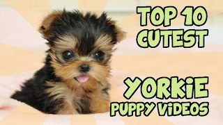 Download TOP 10 CUTEST YORKIE PUPPIES OF ALL TIME Video