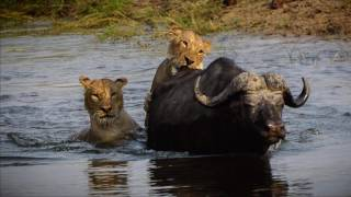 Download Chobe National Park - Lions attack Buffalo - Oct 10, 2016 Video
