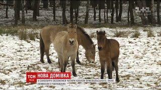 Download Чотири кобили Пржевальського оселилися у колишній резиденції Януковича Video