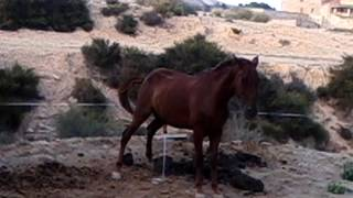 Download The horse pees / El caballo hace pipí Video