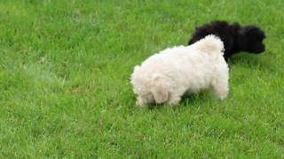 Download Bich Poo Puppies For Sale Elmer Zook Video