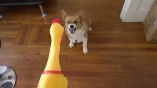 Download Corgi vs squeaky chicken Video