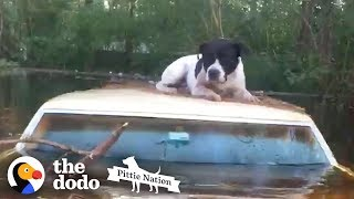 Download Pit Bull Saved from Hurricane Floods Moments Before it's too Late | The Dodo Pittie Nation Video