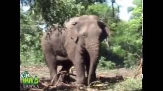 Download Trans Locating An Aggressive Elephant (Part 2) Video