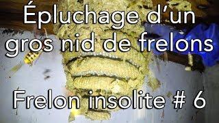 Download Épluchage d'un gros nid de frelons européen - Nid insolite et très dangereux # 6 Video