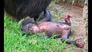 Download El bebé chimpancé recién nacido en BIOPARC Valencia se llamará COCO Video