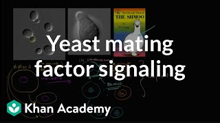 Download Cell signaling in yeast reproduction Video