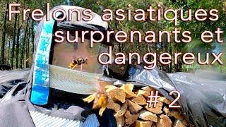 Download Frelons asiatiques surprenants et dangereux # 2 Video