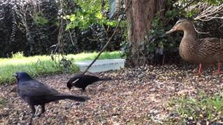Download Male Joins Female Mallard at the Feeder on Thursday April 27th, 2017 Video