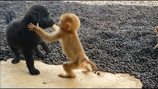Download Cute baby monkey relax and play happily with 2 puppies Video