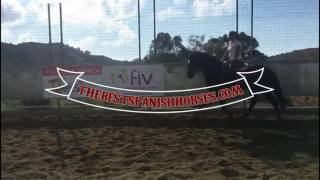 Download AARON - PRE ebony black gelding, tall and elegant - For Sale with TBSH Video
