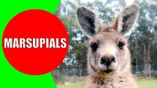 Download Marsupials for Kids – Marsupial Mammals – Marsupial Animals in Australia, Tasmania, and Americas Video