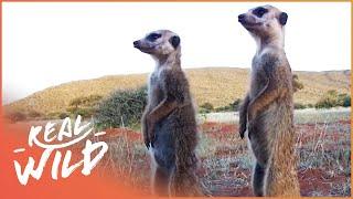 Download Kalahari Meerkats: Meerkat Wars! | Real Wild Video