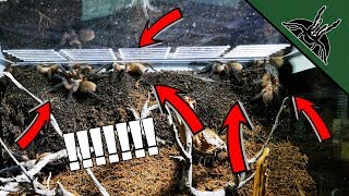 Download SPIDERS EVERYWHERE! M. balfouri REHOUSE Video