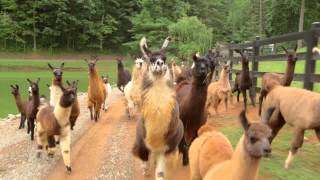 Download Llamas on the Loose Video