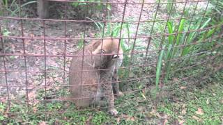 Download 2012 10 09 Big Cat Rescue Bobcat Tunnel Video
