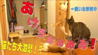 Download 飼い主がトイレで他の猫に浮気してたら猫たちがドアをこじ開けようと突撃して来たwww Video