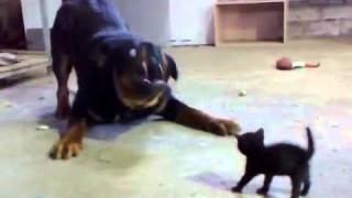 Download Brave Kitten Stands Up to Dog Video