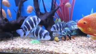 Download Red Spotted Severum, Super Red Severum, Red Severum, Frontosa, EBJD, Lochas. 180 gallons. Video