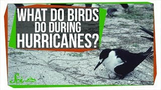 Download What Happens to Birds During Hurricanes? Video