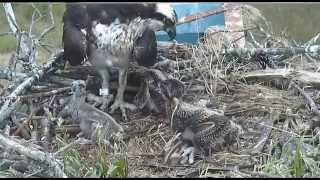 Download TERRAPIN COVE OSPREY CAM ATTACK ON SMALLEST CHICK Video