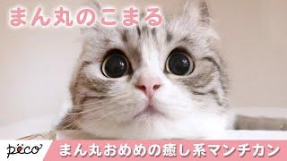 Download 癒し系のマンチカン😽 まん丸おめめの「こまるちゃん」って知ってる😻?【PECO TV】 Video