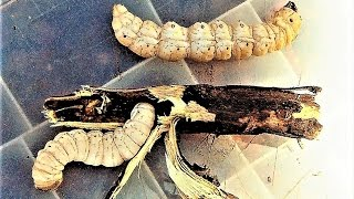 Download 30 Most EDIBLE Insects & Spiders Video