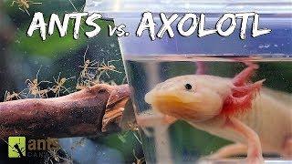 Download Ants vs. Axolotl Video