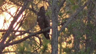 Download SWFL Eagles Early AM At Yonder Pond~E10 Watches As H & M Defend and Hunt 05-03-18 Video
