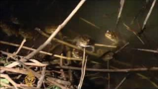 Download Cane toads 'invade' Western Australia - 12 Nov 08 Video