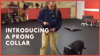 Download Training | Introducing a prong collar to a new dog | Solid K9 Training Dog Training Video