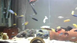 Download Rainbow shark has lived with african cichlids for 3 years Video