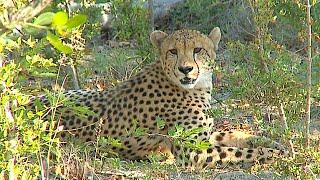 Download Cheetah Plains Part 2 Video