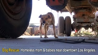 Download Dog Rescue: Homeless mom (Mable) and puppies (Dallas & Texas) near downtown Los Angeles. Video