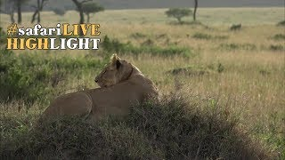 Download Hungry lioness stalks to within meters of her prospective dinner! Video