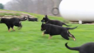Download German Shepherd Puppies For Sale Daniel Lapp Video